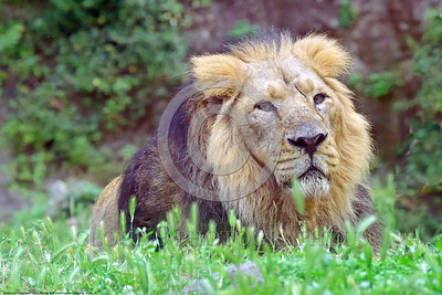 Asiatic Lion 00014 Portrait of a reclined adult male Asiatic lion wildlife picture by Peter J  Mancus