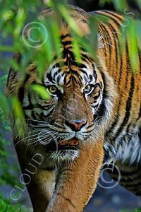 AN-Tiger 00057 Bengal Tiger by Peter J Mancus
