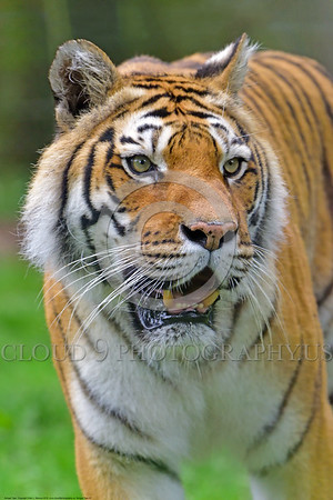 Bengal Tiger 00007 Portrait of an adult Bengal tiger wild animal picture by Peter J  Mancus