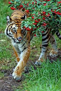 AN-Tiger 00145 Bengal Tiger walks under red berry bush by Peter J Mancus