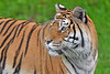 Bengal Tiger 00010 Portrait of an alert focused adult Bengal tiger wild animal picture by Peter J  Mancus