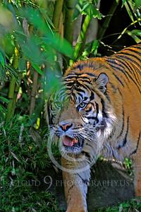 AN-Tiger 00135 Bengal Tiger by Peter J Mancus