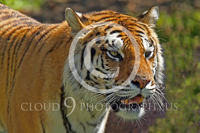 AN - Bengal Tiger 00500 by Peter J Mancus