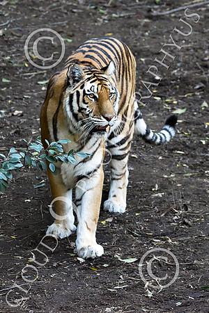 Bengal Tiger 00190 A walking Bengal tiger, wildlife picture by Peter J Mancus