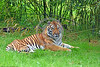 Bengal Tiger 00004 Portrait of an alert resting adult Bengal tiger wild animal picture by Peter J  Mancus