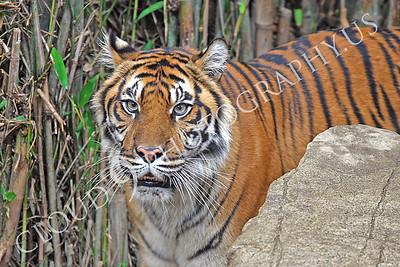AN-Tiger Bengal 00002 Adult female Bengal tiger by Peter J Mancus