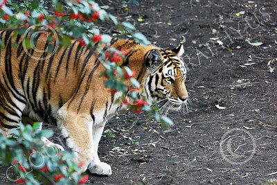 Bengal Tiger 00181 A standing healthy Bengal tiger wildlife picture by Peter J Mancus