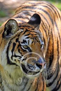 AN - Bengal Tiger 00540 by Peter J Mancus