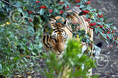 Bengal Tiger 00186 A walking Bengal tiger partially hidden by plants, wildlife picture by Peter J Mancus