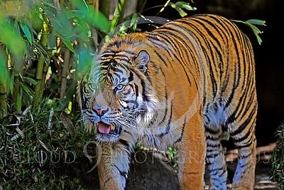 AN-Tiger 00016 Bengal Tiger by Peter J Mancus