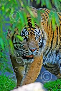 AN-Tiger 00069 Bengal Tiger by Peter J Mancus