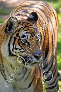 AN - Bengal Tiger 00604 by Peter J Mancus