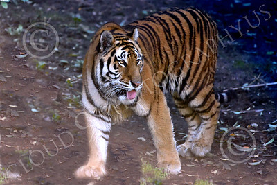 Bengal Tiger 00185 A walking Bengal tiger with open mouth, wildlife picture by Peter J Mancus