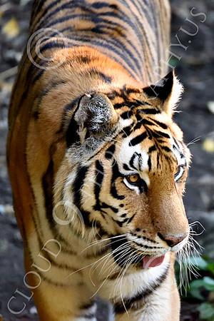 Bengal Tiger 00206 A walking Bengal tiger, wildlife picture by Peter J Mancus