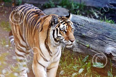 Bengal Tiger 00188 A walking Bengal tiger, wildlife picture by Peter J Mancus