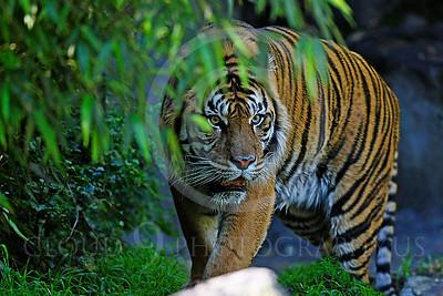 AN-Tiger 00097 Bengal Tiger by Peter J Mancus
