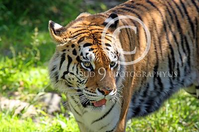 AN - Bengal Tiger 00544 by Peter J Mancus