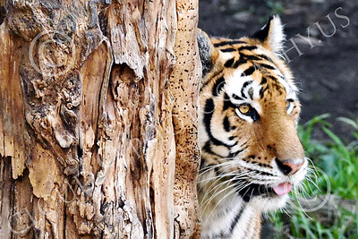 Bengal Tiger 00201 A Bengal tiger standing behind a tree wildlife picture by Peter J Mancus