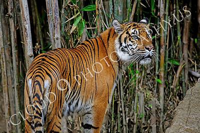 AN-Tiger Bengal 00001 Adult female Bengal tiger by Peter J Mancus