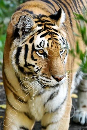 Bengal Tiger 00205 A walking Bengal tiger, wildlife picture by Peter J Mancus