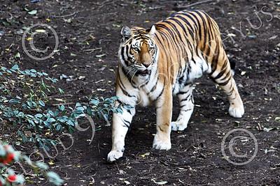 Bengal Tiger 00189 A walking Bengal tiger, wildlife picture by Peter J Mancus