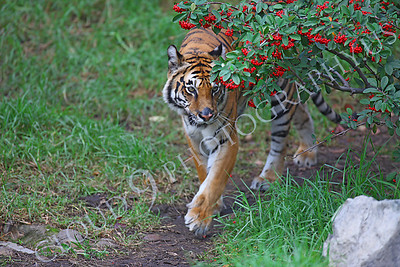 AN-Tiger 00006 Adult Bengal Tiger walks under red berry bush by Peter J Mancus