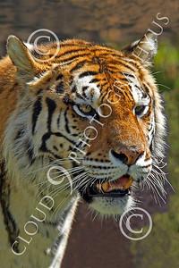 AN - Bengal Tiger 00600 by Peter J Mancus