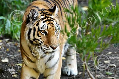 Bengal Tiger 00187 A walking Bengal tiger, wildlife picture by Peter J Mancus