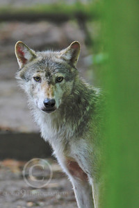 AN - Canadian Timber Wolf 00004 by Peter J Mancus