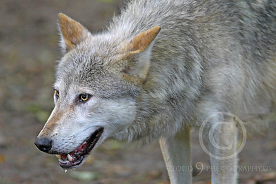 AN - Canadian Timber Wolf 00100 by Peter J Mancus