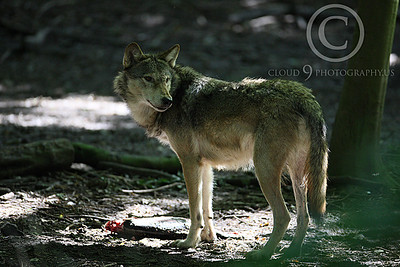 AN - Canadian Timber Wolf 00006 by Peter J Mancus