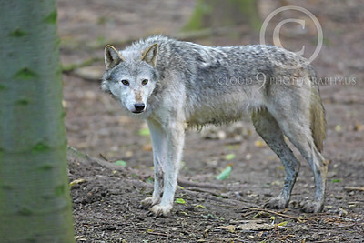 AN - Canadian Timber Wolf 00010 by Peter J Mancus