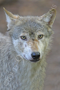 AN - Canadian Timber Wolf 00012 by Peter J Mancus