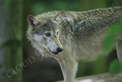 AN - Canadian Timber Wolf 00001 by Peter J Mancus