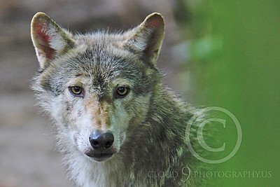 AN - Canadian Timber Wolf 00066 by Peter J Mancus