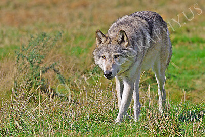 Canadian Timber Wolf 00071 by Tony Fairey