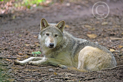 AN - Canadian Timber Wolf 00009 by Peter J Mancus