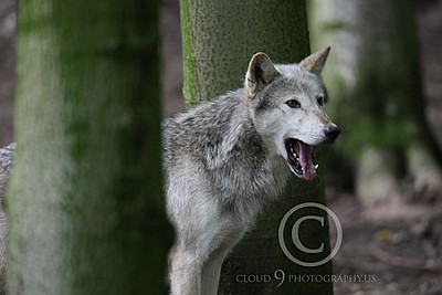 AN - Canadian Timber Wolf 00007 by Peter J Mancus