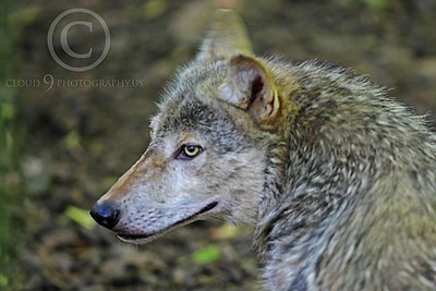 AN - Canadian Timber Wolf 00005 by Peter J Mancus