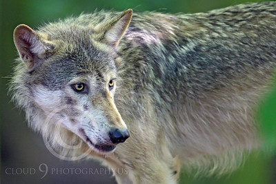 AN - Canadian Timber Wolf 00033 by Peter J Mancus