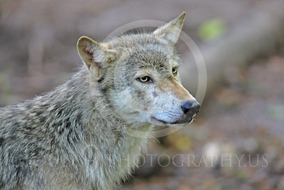 AN - Canadian Timber Wolf 00015 by Peter J Mancus