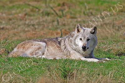 Canadian Timber Wolf 00101 by Tony Fairey
