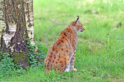 Eurasian Lynx 00027 Portrait of a beautiful approximately 90 pound adult Eurasian lynx sitting near a tree wildlife picture by Peter J  Mancus
