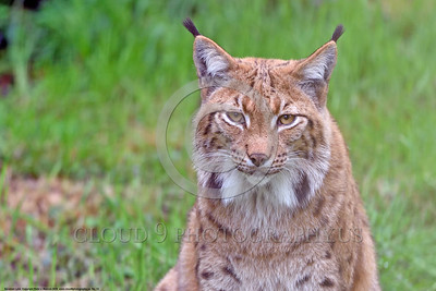 Eurasian Lynx 00012 A tight crop portrait of a beautiful adult Eurasian lynx poses for a picture, wildlife picture by Peter J  Mancus