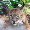Eurasian Lynx 00002 Portrait of a sitting adult Eurasian lynx with very long ear hairs wildlife picture by Peter J  Mancus