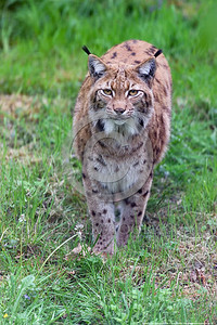 Eurasian Lynx 00005 A standing adult Eurasian lynx poses for a picture, wildlife picture by Peter J  Mancus