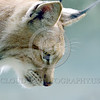 Eurasian Lynx 00023 Portrait of an adult Eurasian lynx looking down for prey wildlife picture by Peter J  Mancus