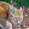 Eurasian Lynx 00021 A crouching adult Eurasian lynx wildlife picture by Peter J  Mancus