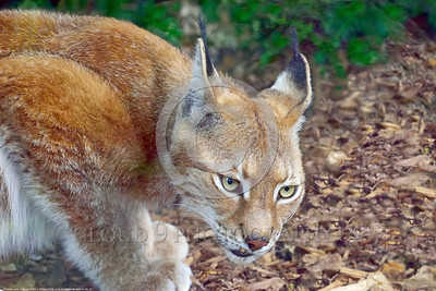 Eurasian Lynx 00021 A crouching adult Eurasian lynx wildlife picture by Peter J  Mancus