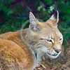 Eurasian Lynx 00018 Except for when the adults breed adult Eurasian lynx are strictly solitary mid-size predator cats, wildlife picture by Peter J  Mancus